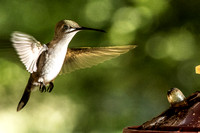 Hummingbirds of tHeCoMPounD